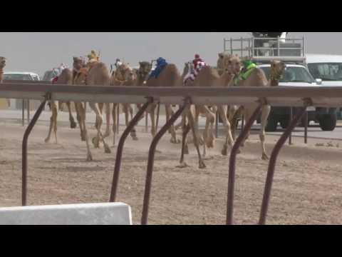 Camel Races in Qatar