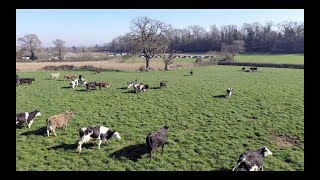 Free Range Spring Turnout - 2019 4k | Dairy Cows Grazing | Gloucestershire, UK