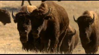 Рассказы о животных--Бизоны