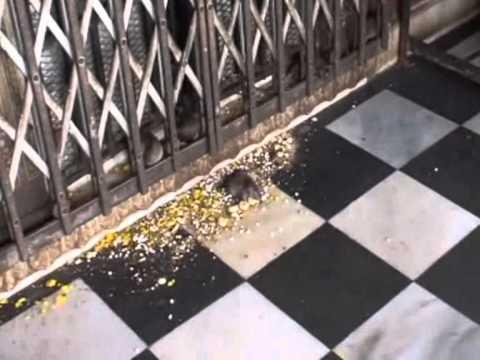 Tempio di Karni Mata (Karni Mata Temple). Il tempio dei topi