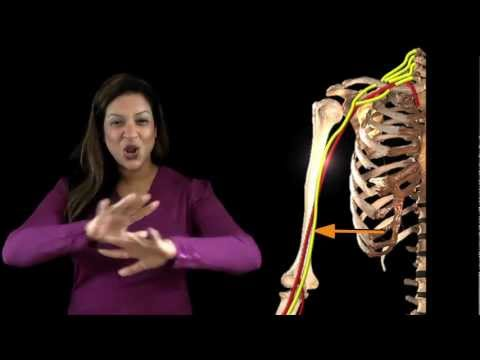 Funky Anatomy EXAM ANSWERS Median Nerve