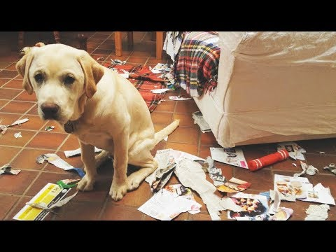 GUILTY DOGS CAUGHT! - Funny Pets & Cute Animals Compilation