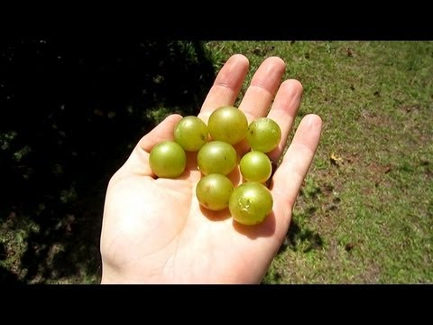 How to root a Muscadine Vine -- How to grow Scuppernong Vine