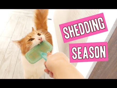 Cat Hair Shedding Season