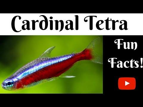 Cardinal Tetra Fun Facts