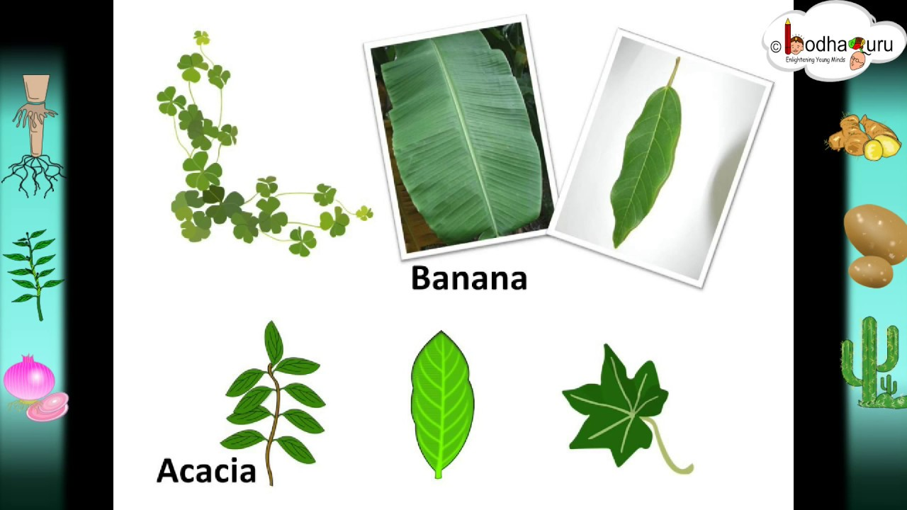 Science - Leaf - structure, its functions and modifications - Hindi