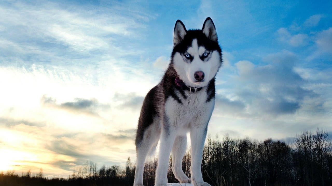 Bildresultat för siberian husky