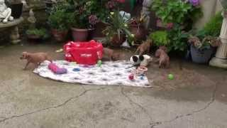 Little Rascals Uk Breeders New Litter Of Golden Cocker Spaniel Pups