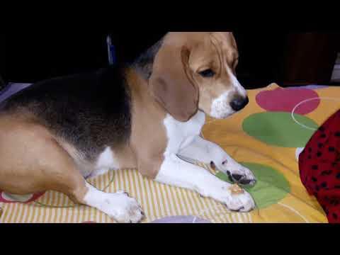 Obedient Max the Beagle