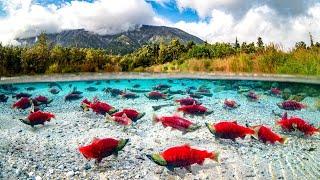 Нерест рыбы в дикой природе. Познавательное видео для детей