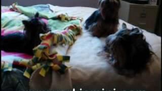 Yorkshire Terrier Miniature Sexy Mia- Version Intégrale