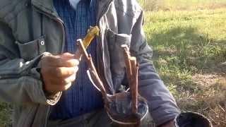Αλλαγή ποικιλίας (εμβολιασμός) κερασιάς με καλέμια