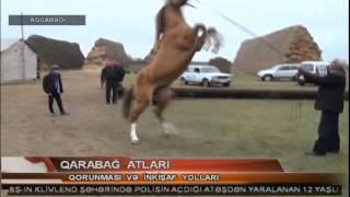 Qarabağ atlarının inkışafına xüsusi diqqət