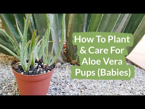 How To Plant & Care For Aloe Vera Pups (Babies)