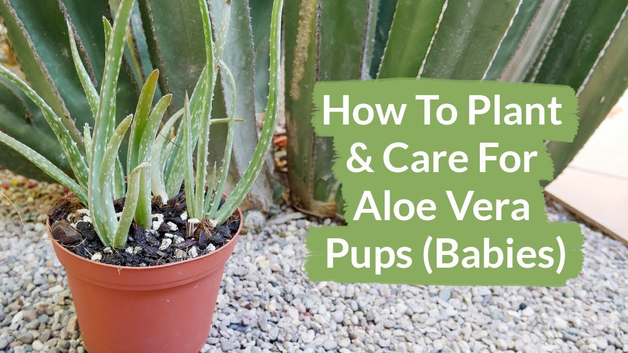 how to plant & care for aloe vera pups (babies) / joy us garden