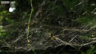 HD: Spider Web Fishing - South Pacific - BBC Two