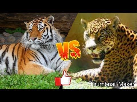 Тигр против ягуара. Tiger against jaguar. Животные. Батл животных.