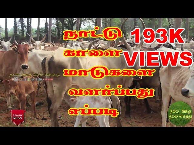Nattu Maadu (Bull) | Valarpathu | Yappadi | Village Memories