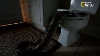 Un serpent dans les toilettes