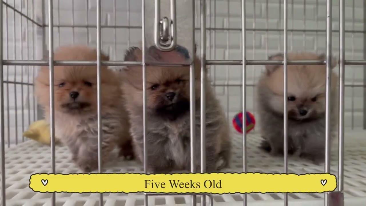 0-8 Weeks Old Ginger's Puppy Transformation  | Mitch Duran