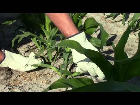 Vegetative Tillers of Corn