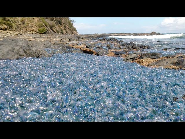 Thousands Of 'Alien' Jellyfish On Shore