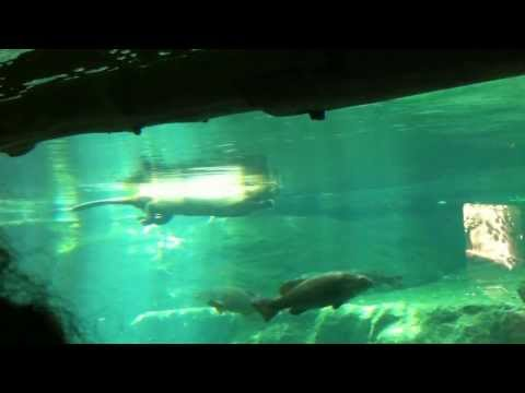 beaver-underwater-video-orange-park-florida-video-by-asap-plumbing-904-346-1266