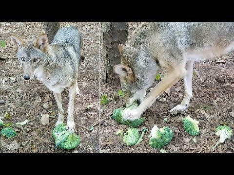 Coyote Named Scooter - 136 - Chomping Broccoli