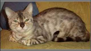 Породистые кошки Ольги Лебедковой Новосибирск