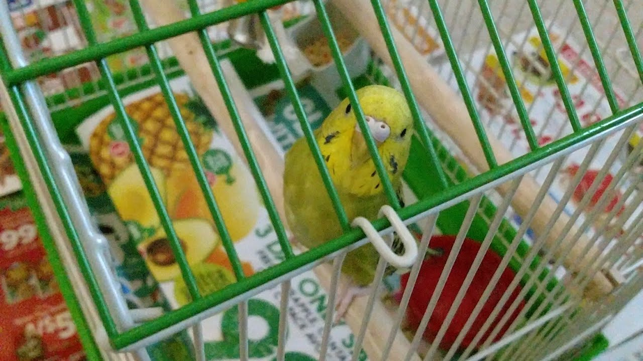 Green Cheek Conure & Parakeet/Budgie Greeted Their Adopted New Baby Brother