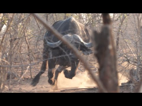 Almost Buffalo Charge!!! Hunting Buffalo in Zimbabwe / Episode 1