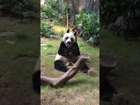 Giant Panda AN AN (13052019)