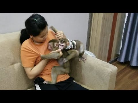 Monkey Baby Nui | Today the BON family came to NUI's house to play. They played very happily and scr