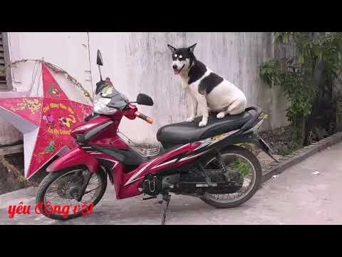 Cách Dạy Chó Ngồi Xe Máy