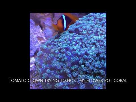 Clownfish Trying To Host A Flower Pot Coral