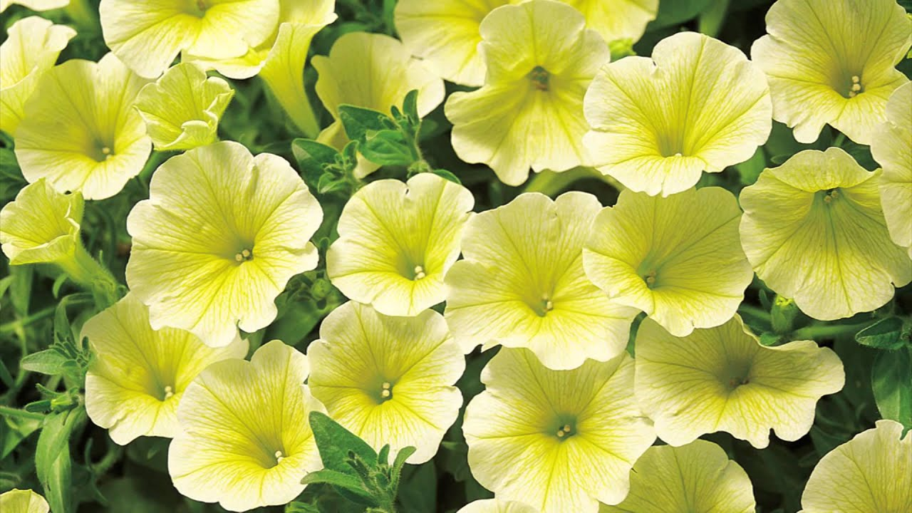 Production Tips for Growers: Surfinia Petunias - YouTube