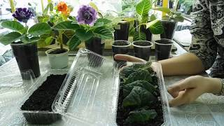 🌱Глоксиния, фрагменты листа дали детки, как рассадить 🌱how to grow gloxinia