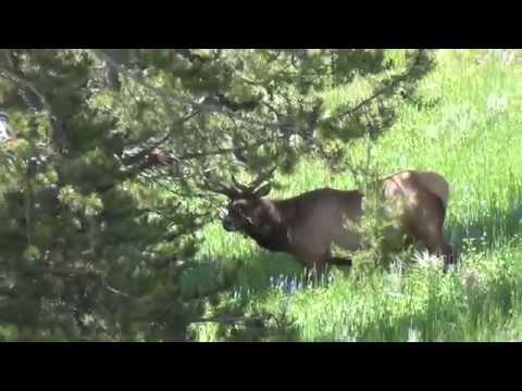 From Mountains to Prairies 2016 (Pt. 61) - Yellowstone Elk Sighting