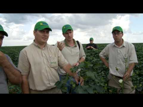 Mato Grosso Yields