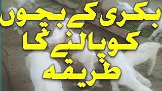 How to take care babies of goats in a farm   bakri ke bachon ko palne ka tarika   Urdu Hindi
