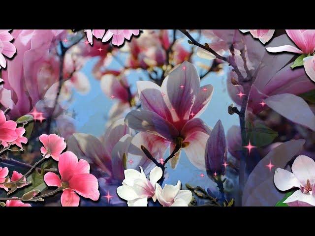 Смотреть видео Посмотрите как магнолии цветут!