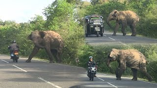 wild elephant chasing vehicles at the Katharagama (Sri lanka) thumbnail