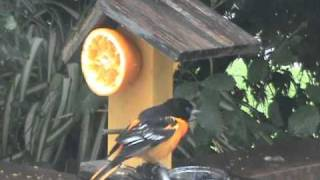 Orioles Feeding At Fruit Feeder