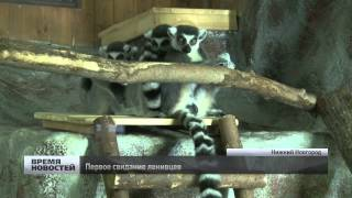 «Жених» из Москвы приехал к самке ленивца в нижегородский зоопарк
