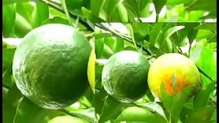 नागपूरात इंडो इस्त्राईल संत्रा लागवड || MaxMaharashtra ||