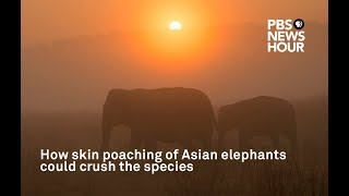 How skin poaching of Asian elephants could crush the species thumbnail