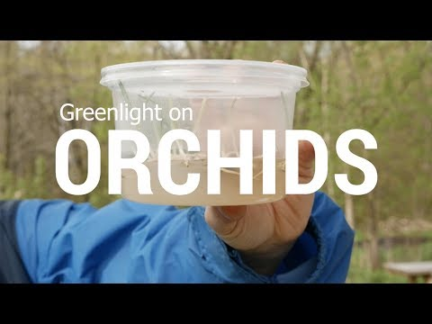 Greenlight on Orchids