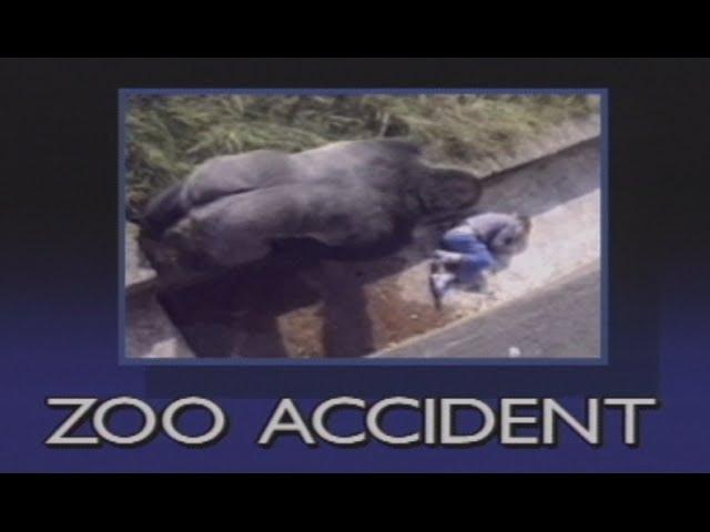 Un bambino di 10 anni cade nel recinto dei gorilla. Guarda la sua sorprendente reazione...