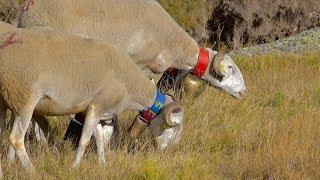 Congrès FNO à Rodez : «élevage des brebis, un tour de force» [vidéo]