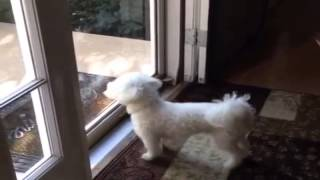 ** How To Train Your Bichon Frise? Right Away!